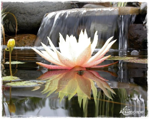 lotus with water fall