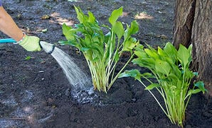 how-to-water-perennials-water-deeply-at-roots-1
